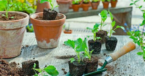 kohlrabi pflanzen kaufen kohlrabi pflanzen und pflegen mein sch 246 ner garten