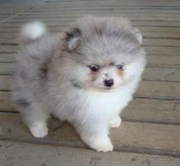 Blue Merle Pomeranian Puppies