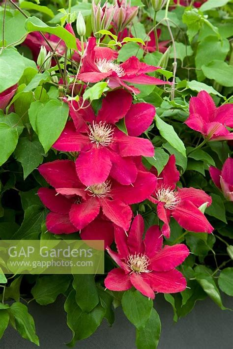 Clematis 'Rebecca' -... stock photo by Michael Howes ...