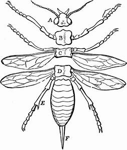 Cricket Insect Diagram To Label