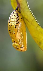 55 best The Chrysalis images on Pinterest | Butterflies ...