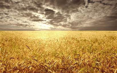 Barley Field Wallpaperbetter