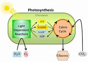 99 Photosynthesis Overview