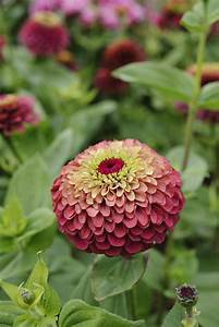 The 25+ best Zinnia elegans ideas on Pinterest | Zinnias ...