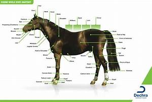 Diagram Of Horses Withers