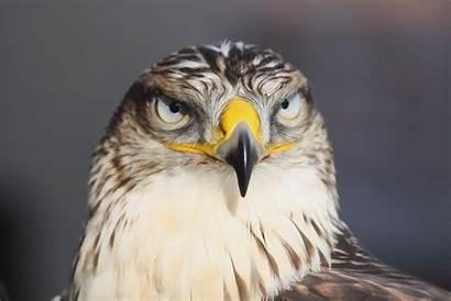 Hawk Wallpapers Ferruginous Android Bald Eagle Owl