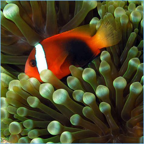 clownfish cinnamon fish anemonefish clown percula pete aquariums