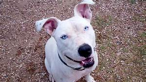 White Blue Eyed Pitbull | www.imgkid.com - The Image Kid ...