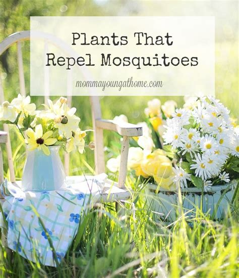repel mosquitoes in yard 25 b 228 sta plants that repel mosquitoes id 233 erna p 229 pinterest citronella citrongr 228 s och