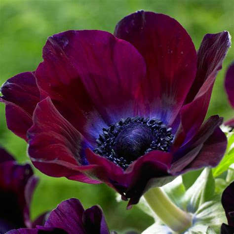 zyverden wind flowers anemones meron bordeaux bulbs set of 25 834051 the home depot