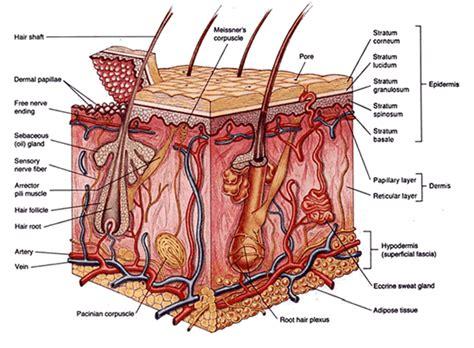 hair and skin diagram capseacusiz