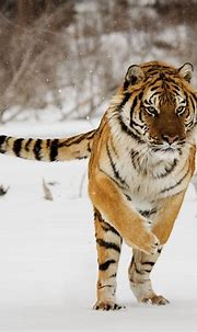 Facts About the Bengal Tiger That Will Leave You ...