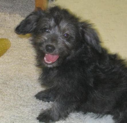 corgipoo corgi  poodle mix info temperament training