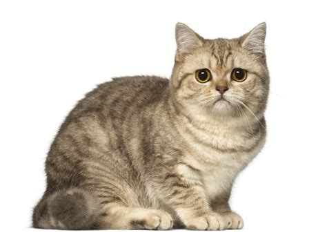 Shorthair Cat by 50 Lovely Shorthair Cat Images Golfian
