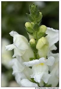 Early White - Snapdragon - Flowers and Fillers - Flowers ...