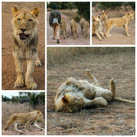 Bush Walk With Lions  Löwen Und Geparden Hautnah Erleben