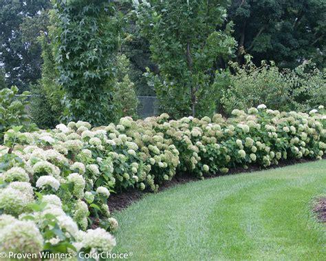 pruning incrediball hydrangea image gallery incrediball hydrangea