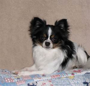 long hair black and white chihuahua puppies | Zoe Fans ...