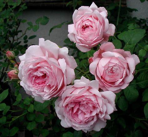 pink david roses wife of bath hybrid tea mme caroline testout x floribunda ma perkins x constance spry 1969