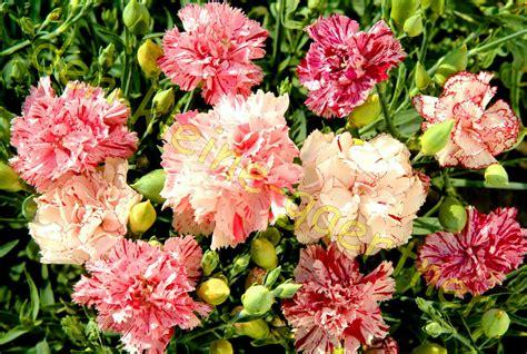 Nelken Pflanzen Kaufen by Nelken Gef 220 Llt Gesprenkelt Gartennelke Nelke Sommer