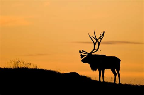 Animal Silhouette Wallpaper - wallpaper 2048x1365 px animals antlers deer
