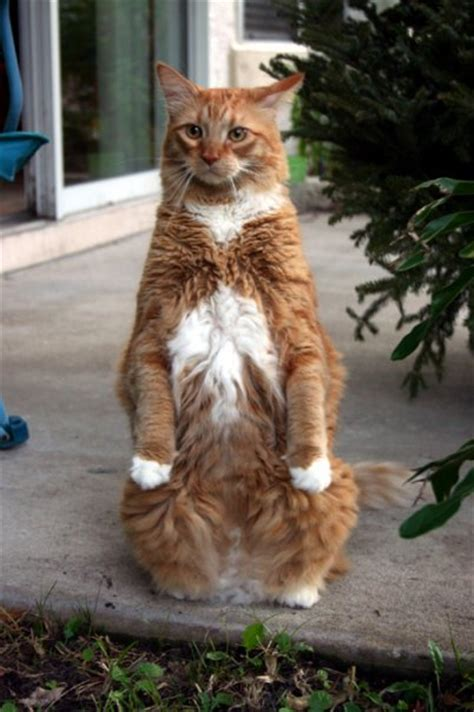 Cats Standing Up? Cats With Uparrows On Their Chests