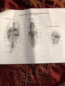 M Of The Fetal Pig Internal Anatomy Anatomy He Dia