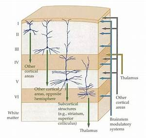 What Layers Of The Brain Are Pyramidal Neurons Found In