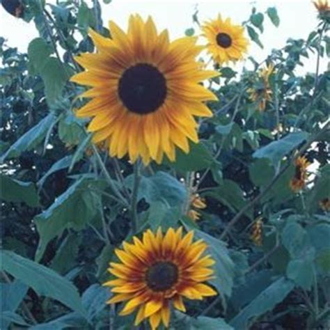 can i grow sunflowers in pots how to grow sunflowers sowing seeds in pots moving to yard etc note sunflowers are annuals
