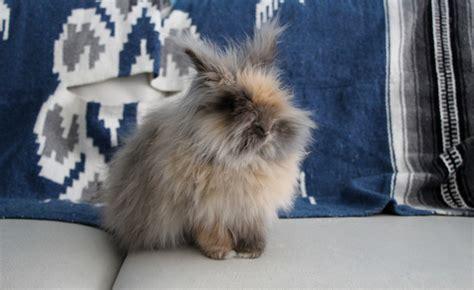 adopter un lapin nain avant l achat