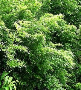Wie Schnell Wächst Bambus : wie entfernt man bambus und gro e stauden leicht aus dem garten die gartenoase ~ Frokenaadalensverden.com Haus und Dekorationen