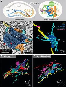 Examining Hippocampal Mossy Fiber Synapses By 3d Electron