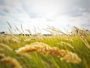 Rice Grain Grass Field  U00b7 Free Stock Photo