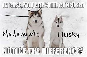 How do one tell that a dog/puppy is a husky or a malamute ...