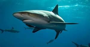 Tiburones: guías de especies, imágenes y recursos
