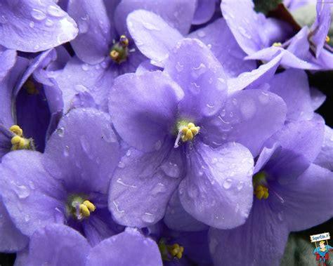 wallpaper violette  wallpaper en haute definition hd