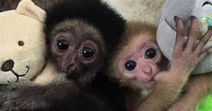 Come see baby monkeys wear baby monkey bibs to eat baby ...