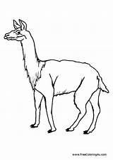 Coloring Llama Pages Animals Guinea Pig sketch template