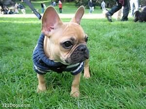 About 'free french bulldog puppies uk'|french bulldog ...
