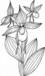 Clipart Mountain Lady39s Slipper Orchid