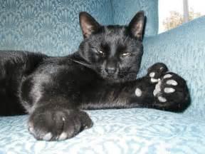 polydactyl cats polydactyl cat on