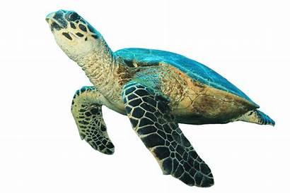 Turtle Sea Clipart Hawksbill Tartaruga Blanc Turtles