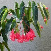 Pflanze Mit Roten Blüten : forellenbegonie begonia albopicta var rosea ~ Eleganceandgraceweddings.com Haus und Dekorationen