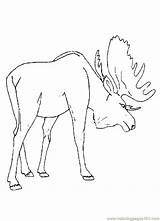 Moose Coloring Pages Printable Animal Preschool Drawing Deer Track Template Cartoon Realistic Coloringpages101 Animals Fresh Colouring Sketch Sheets Hunting Head sketch template