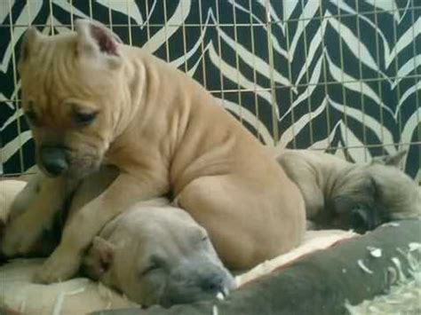 razors edge gottiline blue nose pitbull puppies american