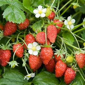 Alpine Strawberry Plants 'Scarlet Beauty' (12 plants ...