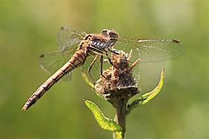 Odonata Confusion  U2013 John  U0026 Carol Curd