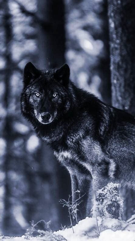 Black Wolf Wallpaper by Black Wolf Wallpapers Free By Zedge