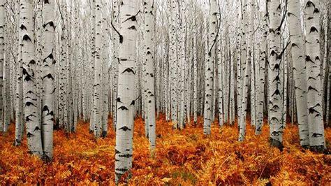 aspen tree wallpapers hd wallpaperwiki