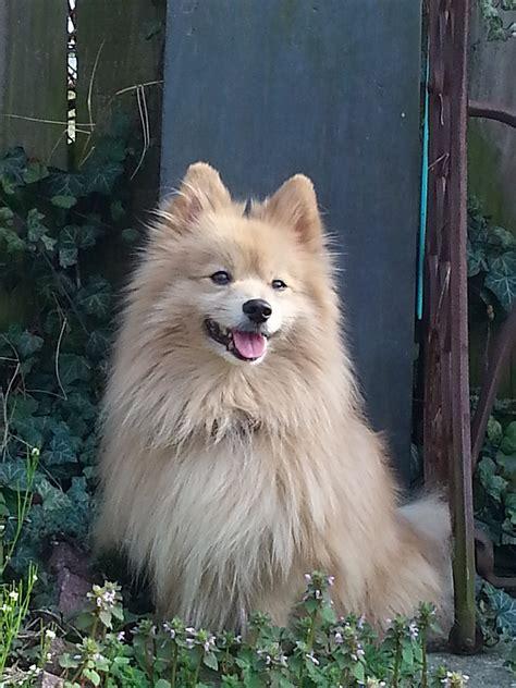 Pomeranian dog - Wikipedia